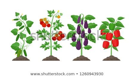 Palánta bors gyümölcs levél növény mezőgazdaság Stock fotó © phbcz