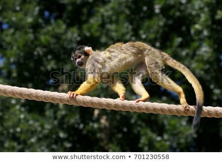 Sincap maymun oturma şube doğa çalı Stok fotoğraf © dirkr