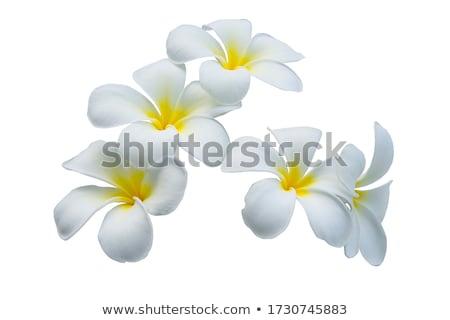 frangipani (plumeria) Stock photo © hin255