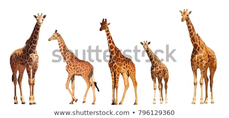 Reticulated Giraffe Stock photo © ajn