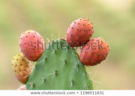 кактус груши изолированный белый фон красный Сток-фото © designsstock