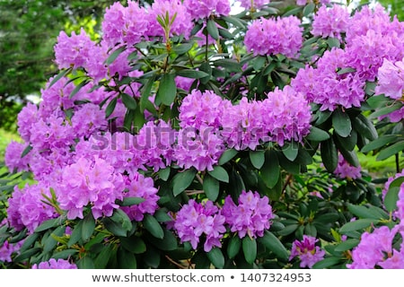 Bright pink rhododendron on the bush Stock photo © pixelman