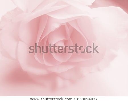 Różowy róż kwiat tle piękna zielone Zdjęcia stock © Valeriy