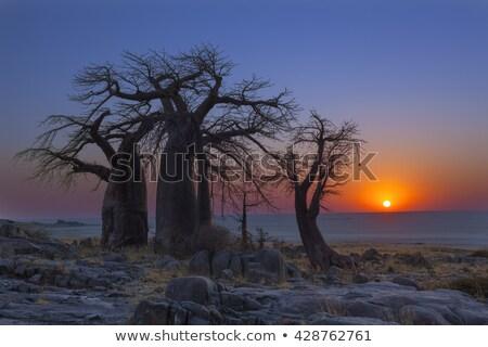 drzewo · wyspa · pan · Botswana · Afryki · niebo - zdjęcia stock © prill