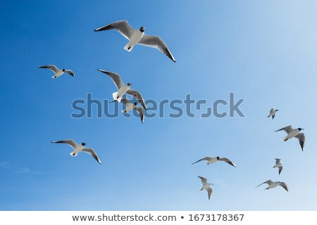 seagull flying overhead in blue sky stock photo © latent