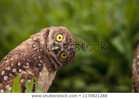 funny owls Stock photo © adrenalina