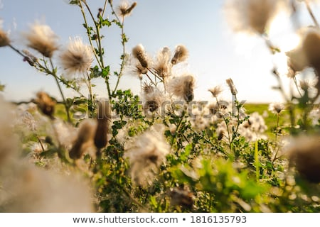 Hazır tohum çiçek ışık bahçe alan Stok fotoğraf © chris2766