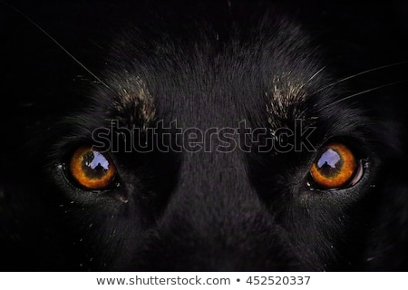 Angry dog on dark background Stock photo © byrdyak