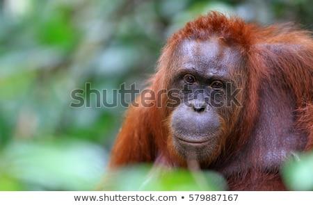orangutan · anne · bebek · oturma · uzun · çim - stok fotoğraf © mariusz_prusaczyk