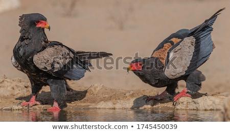 bird in Kgalagadi Transfrontier Park Stock photo © meinzahn