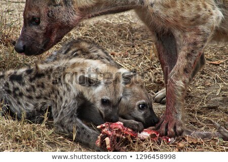 Side profile of a Spotted hyena cub in the Kruger National Park, South Africa. Stock photo © simoneeman