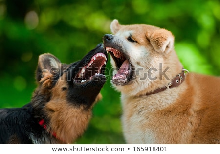 Two dogs Akita inu are playing or fighting stock photo © goroshnikova