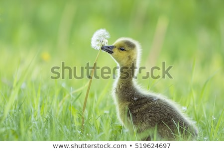 Kanada gęś siedzieć trawy matka ptaków Zdjęcia stock © brianguest
