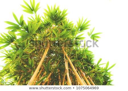 Yeşil sarı bambu çalı güzel Stok fotoğraf © Klinker