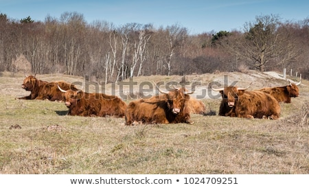 Natura Holland rosolare peloso vacche erba Foto d'archivio © compuinfoto