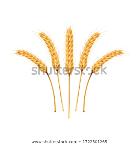 Golden Wheat or Barley Ears with Copy Space Poster Stock photo © robuart