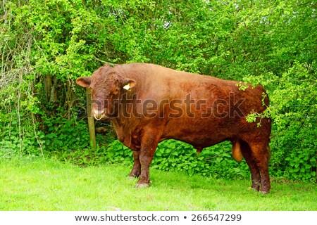牛 牛 プロファイル 肖像 色 農業 ストックフォト © iofoto