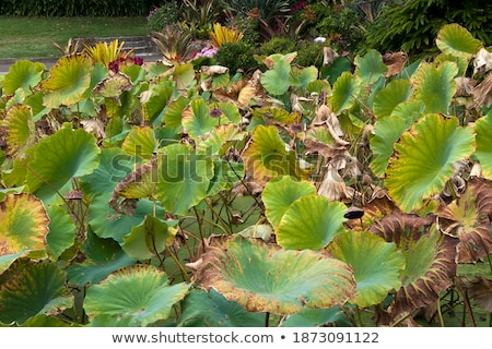 Park scene with lotus and waterlily Stock photo © colematt