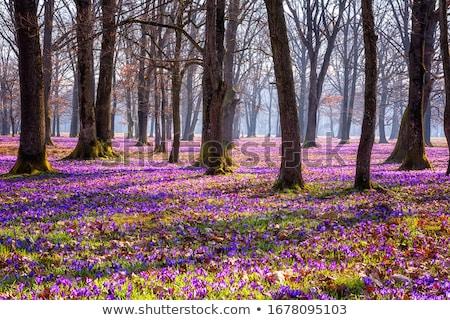 tavasz · ibolya · virágok · mező · virág · természet - stock fotó © vapi