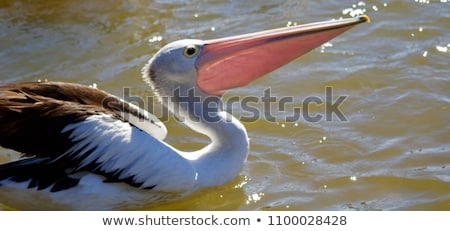 Australian pelicans Stock photo © boggy