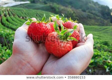 Fresa Berry granja jardín primavera hoja Foto stock © masay256