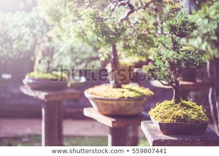 Groot bonsai boom pot park gebouw Stockfoto © galitskaya