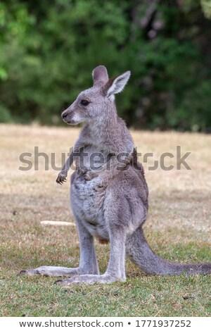 Juvenile kangaroo on a grassy area near bush land Stock photo © lovleah