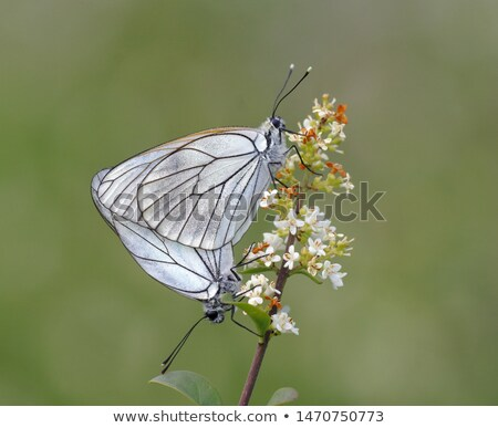 White butterfly mating Stock photo © Ansonstock
