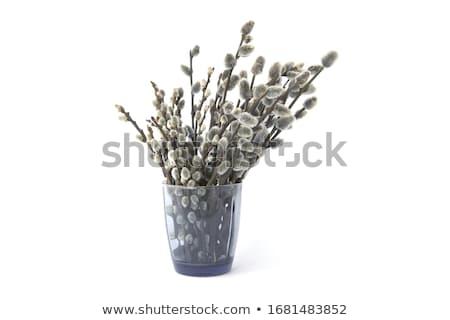 bichano · salgueiro · ramo · branco · flora - foto stock © pixelman