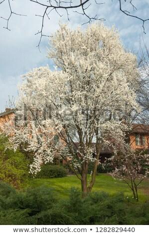 Wonderful plum tree blossom.   Stock photo © lypnyk2