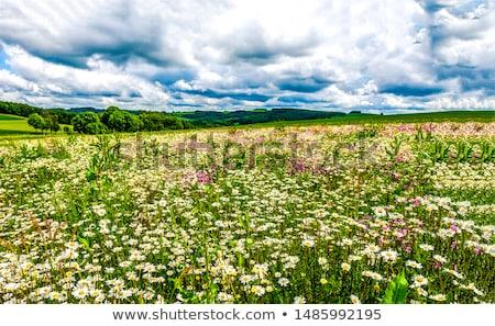 Stokrotki łące piękna wiosną kwiat świetle Zdjęcia stock © photocreo