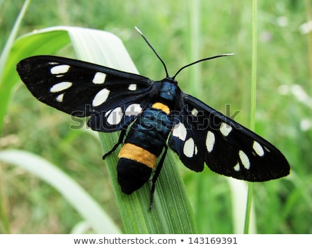 Nine-spotted moth Stock photo © prill