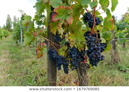 ripe grapes right before harvest in the summer sun stock photo © 3523studio