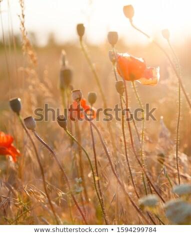 A beautiful blossom, seed pod with beautiful sun reflection Stock photo © 3523studio