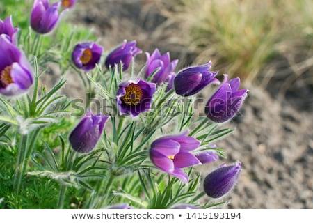 Mor çiçekler çiçek bahçe yaz yeşil Stok fotoğraf © Calek