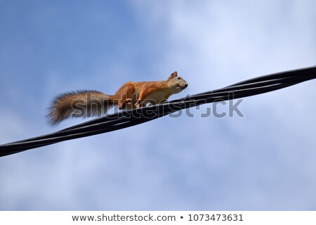 squirrel on electric cables Stock photo © smithore