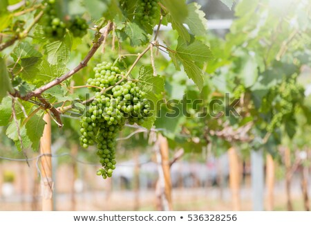 young with grapevine Stock photo © photography33