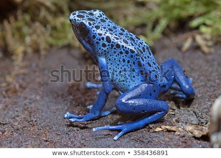 Azul veneno dardo sapo macro tiro Foto stock © macropixel