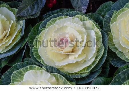 Decorative cabbage, Brassica oleracea var. acephala, in Japan Stock photo © Arrxxx