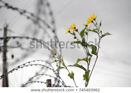 flower of war Stock photo © dolgachov