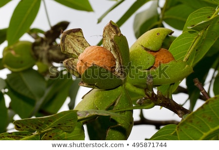 Walnut tree Stock photo © ruzanna