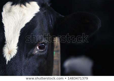 Negro vaca mirar fuera estable uno Foto stock © tepic