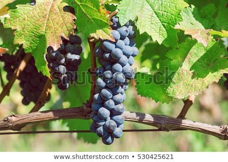 Vineyard on harvesting time Stock photo © ABBPhoto