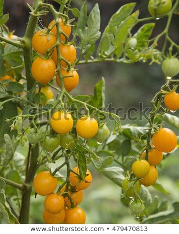 kiraz · domates · cam · domates · domates · suyu · kokteyl · bulanık - stok fotoğraf © lunamarina