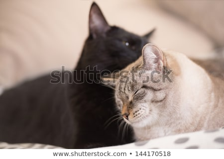 Two cute domestic short hair cats snuggle with one another Stock photo © HASLOO