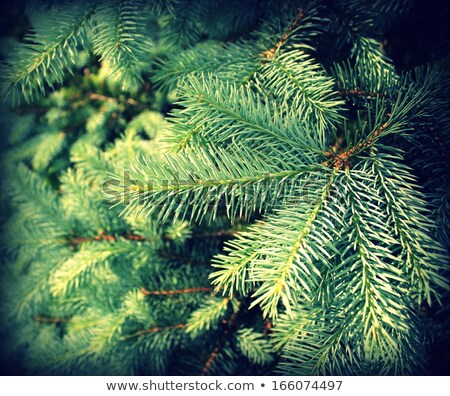Vintage photo of branch fir-tree ( Colorado Spruce)  Stock photo © Virgin