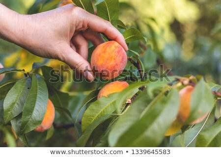 作り出す · フルーツ · 女性 · 桃 · 孤立した - ストックフォト © dgilder