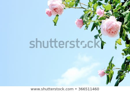 wild pink rose bush Stock photo © taviphoto