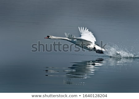 mute swans taking flight from water surface Stock photo © taviphoto