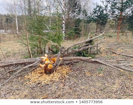 Bóbr drzewo uszkodzenie wyniki co zajęty Zdjęcia stock © brm1949